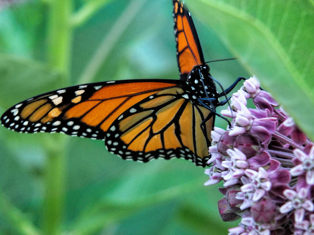monarch-milkweed